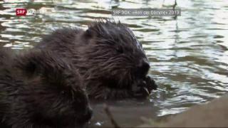 Video «Der Biber: klein aber gefrässig» abspielen