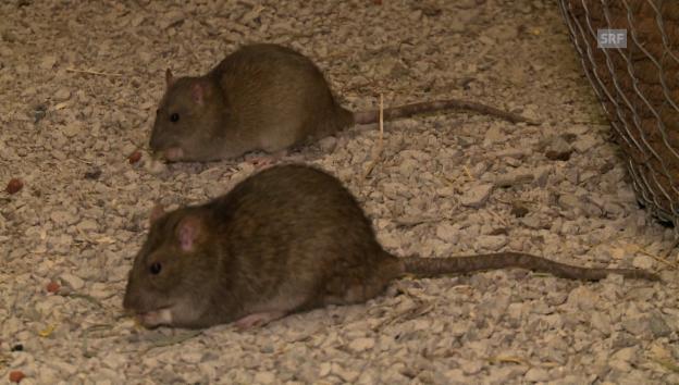 Video «In der Kanalisation bei den Ratten» abspielen