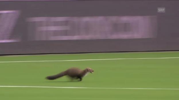 Video «Der Marder beim FC Thun» abspielen