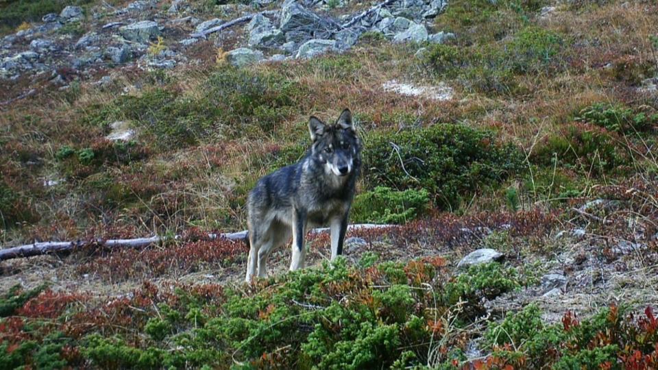 Initiative fordert Abschuss älterer Wölfe