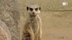 Video «Der Zootierarzt: Giraffe, Erdmännchen und Löwe» abspielen