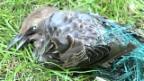 Video «Vogelfalle Rebnetze» abspielen