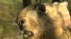 Video «Doppelt trächtige Hasen» abspielen
