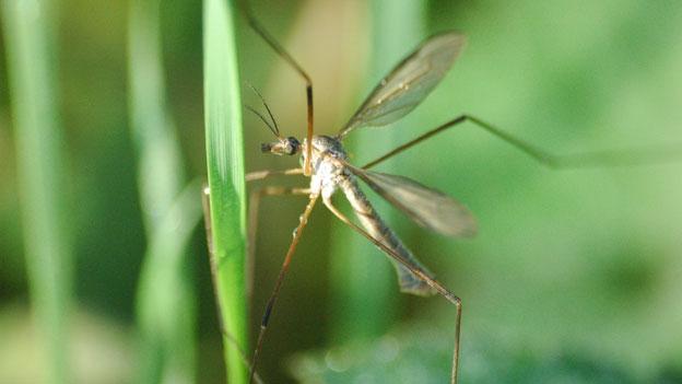 Die lüsterne Stechmücke