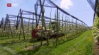 Video «Feuerbrandgefahr bei Obstbäumen steigt» abspielen