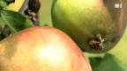 Video «Malus Sieversii: Der Ur-Apfel aus dem Garten Eden Kasachstans» abspielen