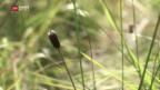 Video «Schweres Gerät für eine zarte Pflanze» abspielen