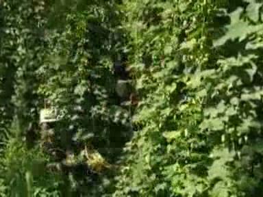 Video «Hopfen aus Stammheim» abspielen