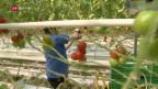 Video «FOKUS: Asylsuchende meiden Jobs in der Landwirtschaft» abspielen
