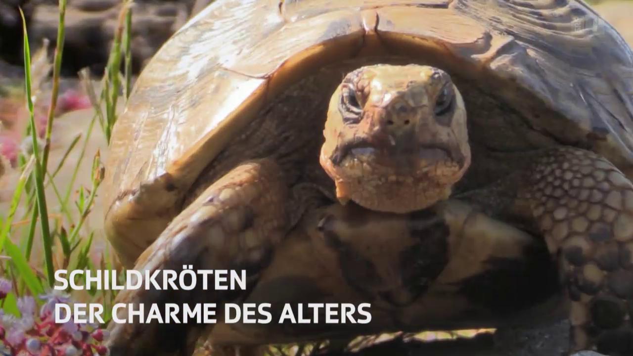 NETZ NATUR «Schildkröten - der Charme des Alters» (Schweizerdeutsch)