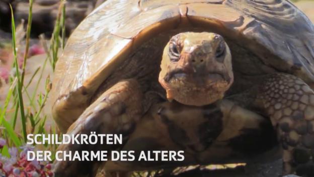 Video «NETZ NATUR «Schildkröten - der Charme des Alters» (Schweizerdeutsch)» abspielen