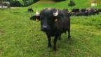 Video «Marbacher Wasserbüffel» abspielen