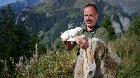 Bergwelt Schweiz: Calanda – Begegnungen mit dem Wolf (4/5)