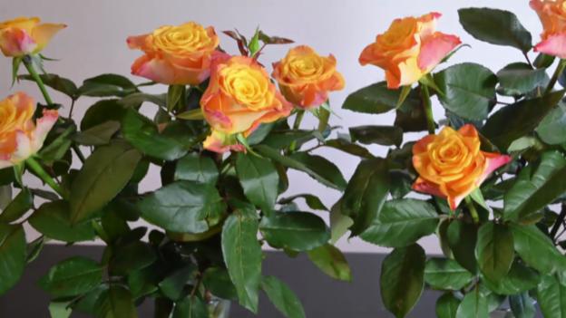 rosen tulpen nelken sollen nicht gleich welken wissen srf. Black Bedroom Furniture Sets. Home Design Ideas