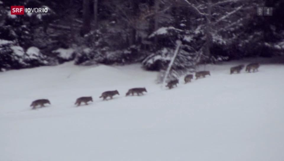 Bundesrat will Wölfe weniger streng schützen