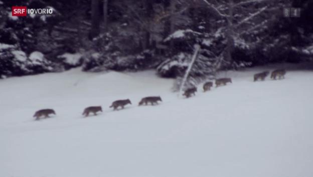Video «Bundesrat will Wölfe weniger streng schützen» abspielen