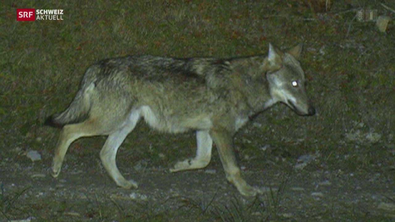 Wolf im Toggenburg gesichtet