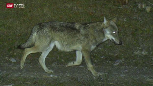Video «Wolf im Toggenburg gesichtet» abspielen