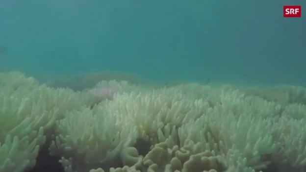 Video «Korallensterben am Great Barrier Reef geht weiter» abspielen