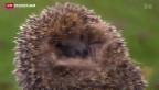 Video «Igel auf der Suche nach Winterquartier» abspielen
