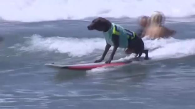 Video «Tierischer Surf-Wettbewerb in Kalifornien» abspielen