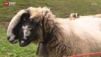 Video «Rätsel um verschwundene Schafe» abspielen
