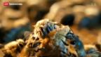 Video «Neonicotinoide mitverantwortlich für Bienensterben?» abspielen