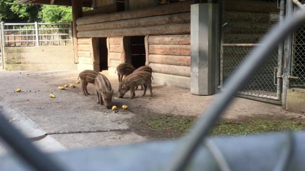 Video ««Babyboom» im Tierpark Roggenhausen» abspielen
