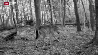 Video «Wolf im Zürcher Oberland» abspielen