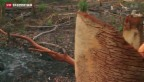Video «Im Kampf gegen die Abholzung in Indonesien» abspielen