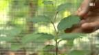 Video «Buchen unter Trockenstress» abspielen