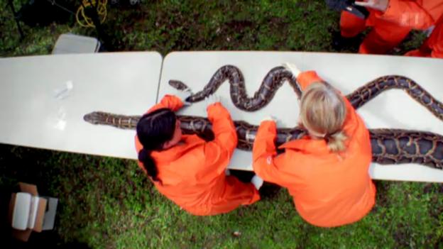 Video «Python unter dem Messer: Haben Schlangen kurze Beine?» abspielen