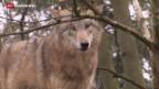 Video «Uneingeschränkte Wolfsjagd?» abspielen