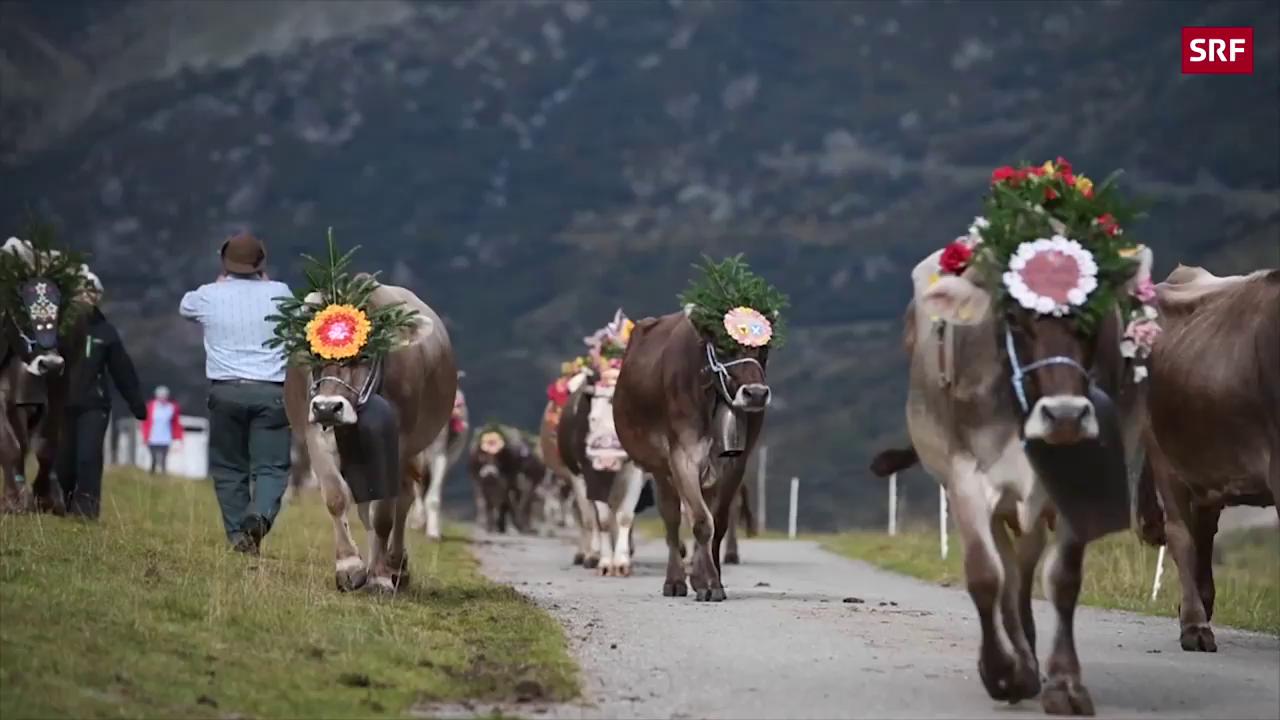 Für die Kühe geht es talwärts