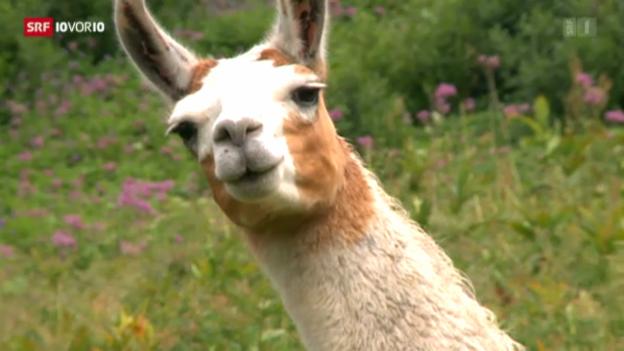 Video «Lamas gegen den Wolf» abspielen