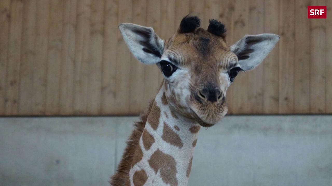 Giraffen-Baby kommt zur Welt