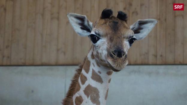 Video «Giraffen-Baby kommt zur Welt» abspielen