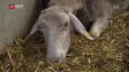 Video «Vergiftung: 200 Schafe im Thurgau verendet» abspielen