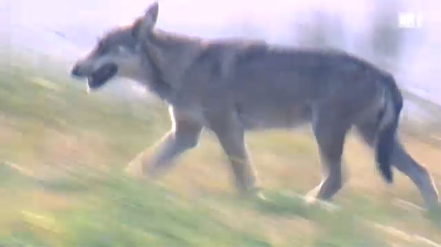 Sündenbock Wolf