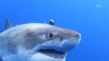 Link öffnet eine Lightbox. Video Tauchen mit riesigem Weissen Hai abspielen