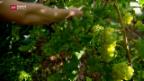 Video «Rebkrankheit im Lavaux vorerst eingedämmt» abspielen