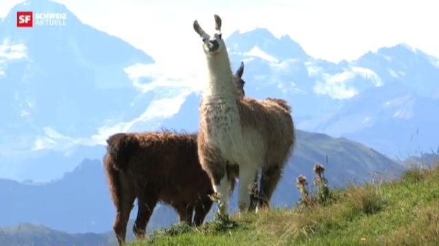 Lamas gegen Wölfe