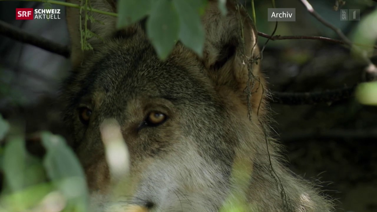 Wolfsbilanz der Bergkantone
