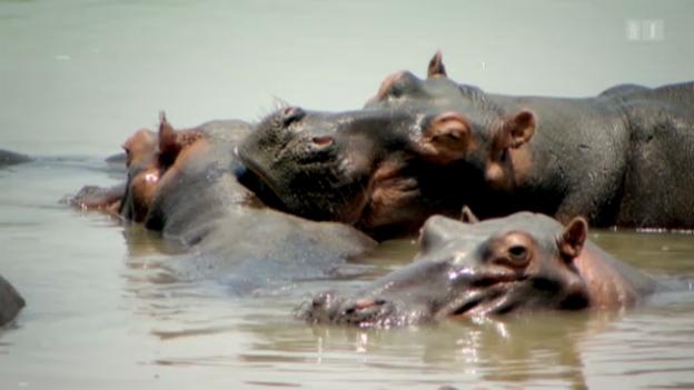 Video «Flusspferd unter dem Messer» abspielen