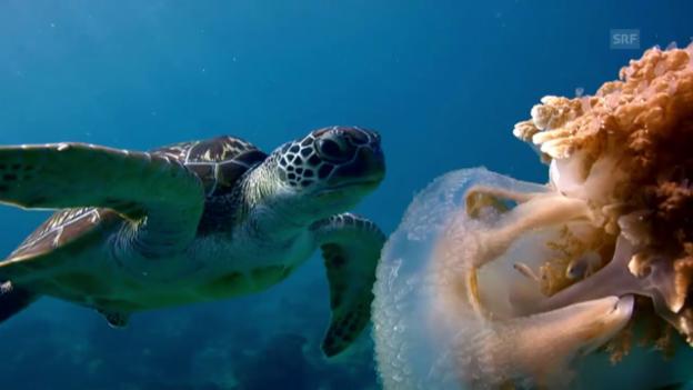 Video «Im Innern der Lederschildkröte» abspielen