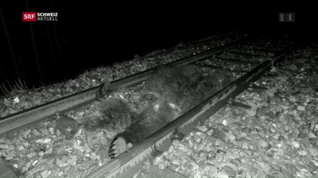 Video «Zug überfährt Bär» abspielen