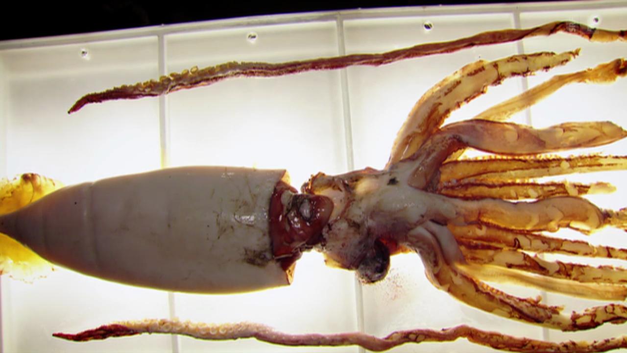 Tiere unter dem Messer: Im Innern des Tiefsee-Kalmars