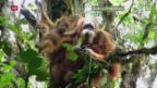 Video «Forscher entdecken neue Art von Menschenaffen» abspielen