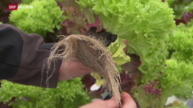 Video «Neu im Supermarkt: Salat inklusive Wurzeln» abspielen
