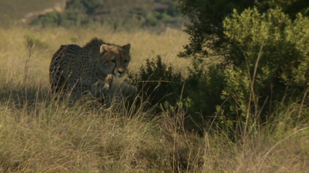 Video «Pätagei in Südafrika - Geparden» abspielen